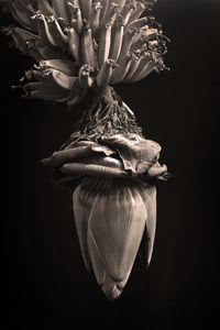 """MANGARÁ"".  Banana tree flower."