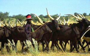 Wodaabe cattle herder