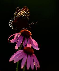Native Flutter