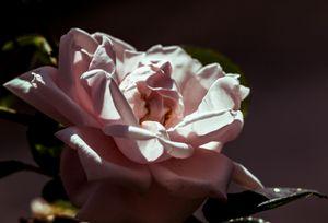 REGARDE ROSE