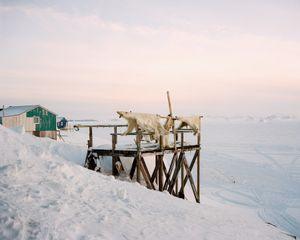 Drying polar bear skins