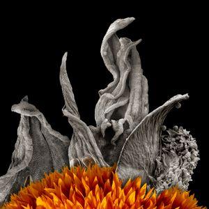 Sunflower Petals, Pollen, Floret