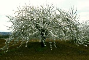 Cerisier, Portraits of Trees