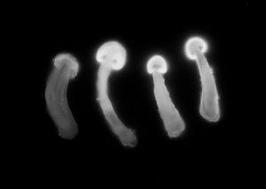Tricholoma matsutake
