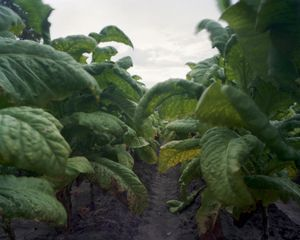 © Dana Mueller                              Tobacco field near Camp Camden, South Carolina  2010
