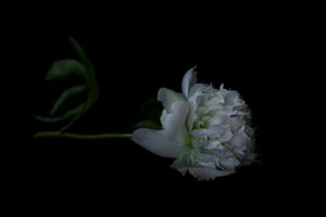 The Masters - Sole Peony