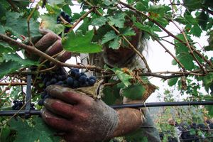 In order to get a high-quality  wine,  the grapes' bunches must be picked-up one by one, with hands.