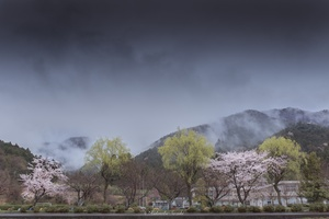 Sakura of Sekigahara battle