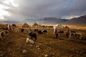 Kyrgyz women near Chaqmaqtin Lake tie up the Yak calves, before they can milk the adult Yaks