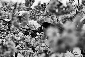 Regard sous les cerisiers